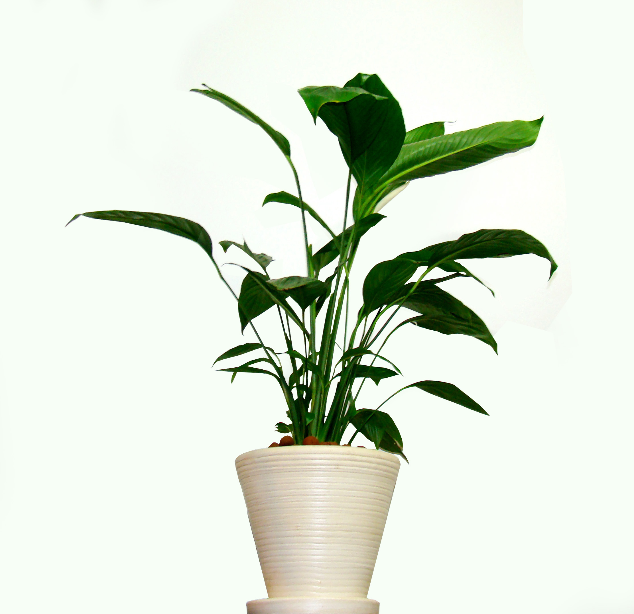Peace lily plant care best method for beautiful foliage Best small office plants