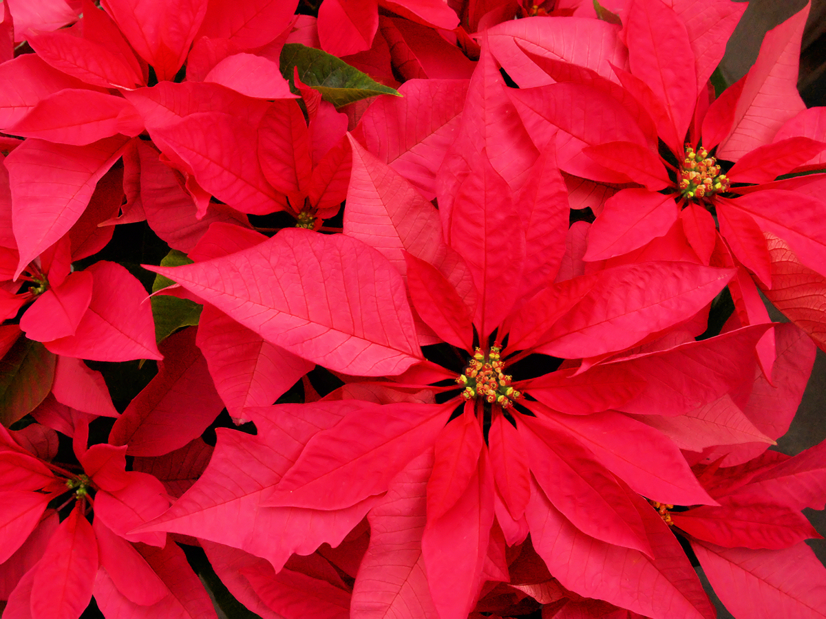 Giving Poinsettias Add A Personal Touch Interior