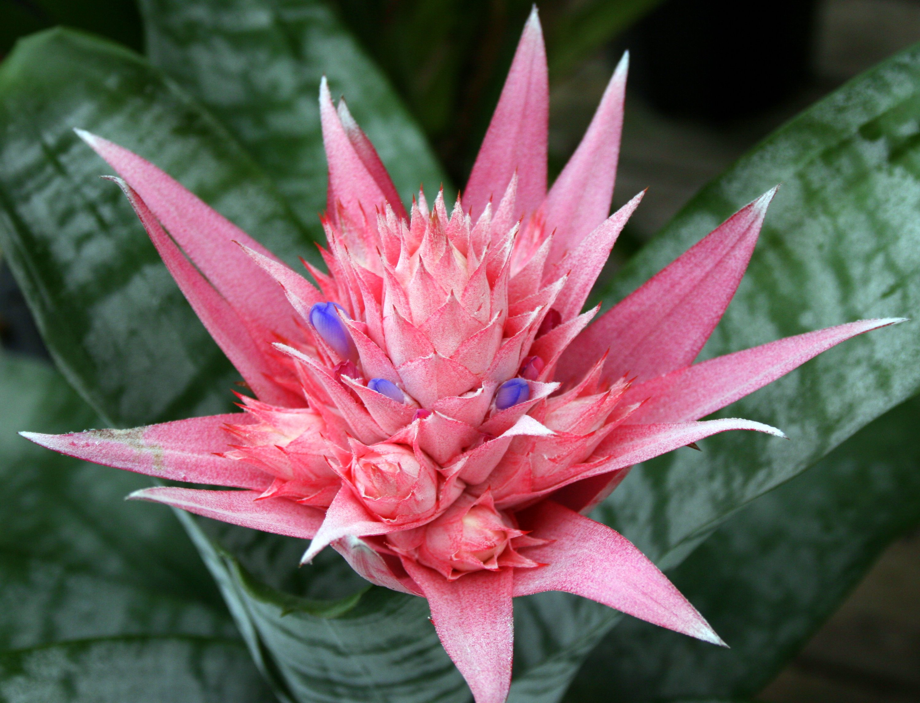 Bromeliad Plant Interior Office Plants