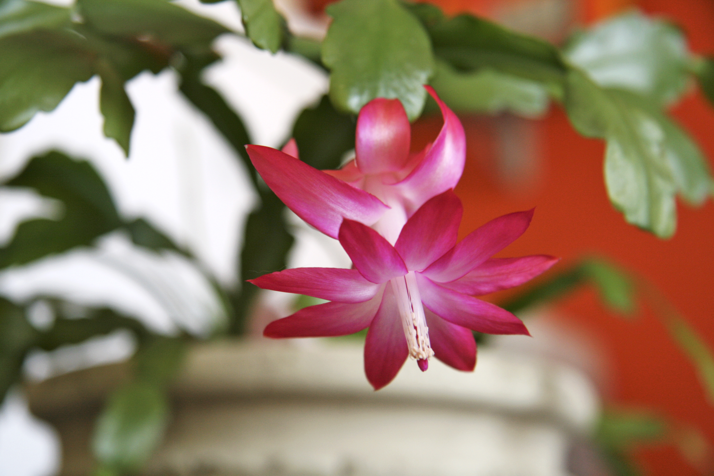 How To Care For Christmas Cactus.The Christmas Cactus Interior Office Plants