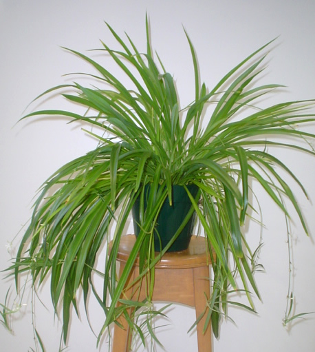 Growing A Spider Plant: The Citrus Guy: Overprotecting? My Spider Plant