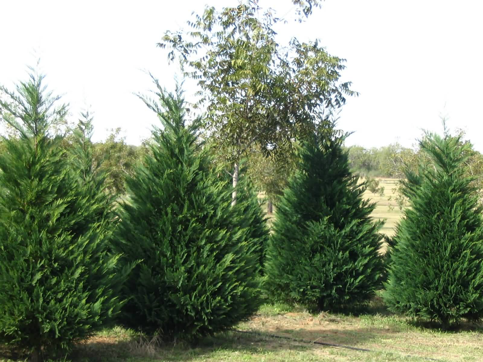 Types of Christmas Trees | Interior Office Plants